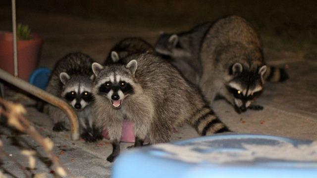 The Raccoons are back.