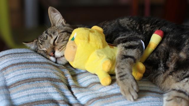 Snacker T. Cat and his Minecraft Ocelot